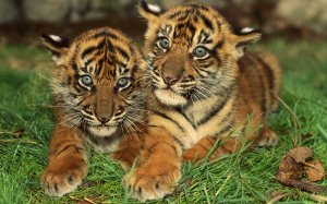 14595_animals_tiger_baby_tigers